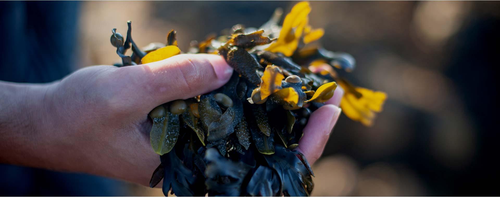 Shore_Seaweed