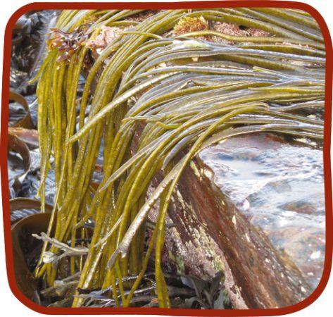 sea spaghetti seawed