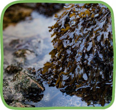 spiral_wrack_seaweed