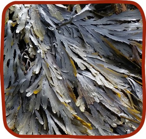 tooth wrack seaweed